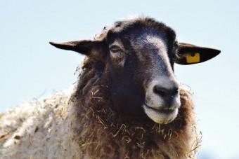 Schafwolle: Tierschutz- und umweltrelevant