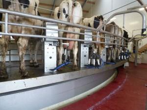 Milchkühe in Melkstall