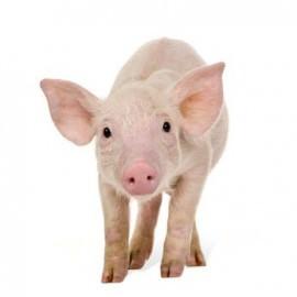 Freigestelltes Ferkel / Schwein