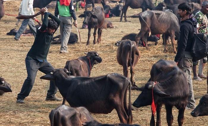 Gadhimai Schlachtfest 2014