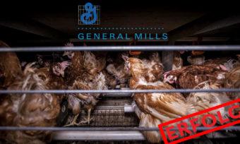 Erfolgreiche Käfigfrei-Kampagne gegen General Mills