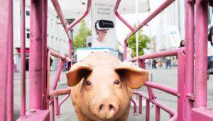 Schweinemodell im Abferkelstand auf der iAnimal-Tour