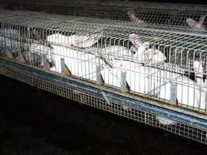 Kaninchen in der Massentierhaltung