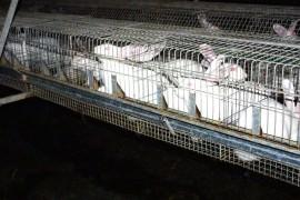 Kaninchen werden in Käfigen gemästet