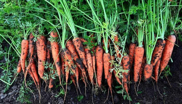 Bio-vegane Karotten
