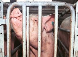 Vertragsverletzungsverfahren - Schwein im Kastenstand