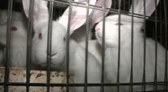 Kaninchenmast bleibt Qual