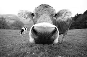 U. a. aus Kuhhäuten wird Leder hergestellt