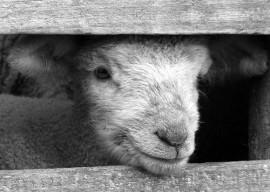 Schaf beim Tiertransport