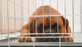 Ein gelangweilter Hund im Käfig