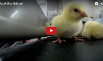 Video aus Mastküken-Brüterei