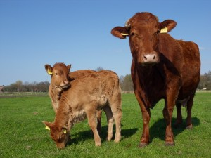 Muttertag: Kuhmutter mit Zwillingen