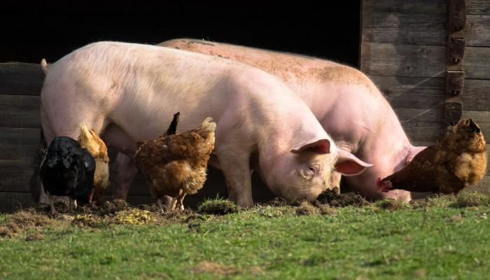 freilaufende Schweine und Hühner