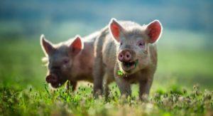 Mastschweine