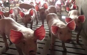 Mastschweine auf Spaltenboden