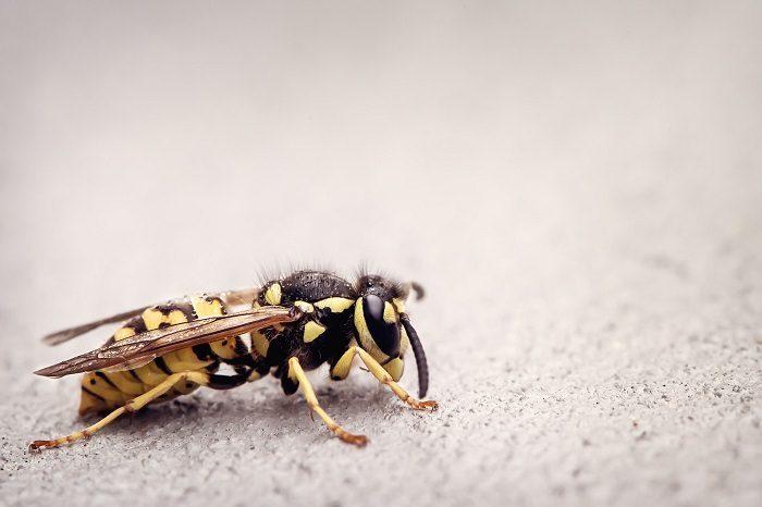 Eine Wespe in Nahaufnahme sitzt auf unscharfem Untergrund.
