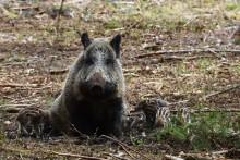 Die Schweinepest und die Sorge um den Export